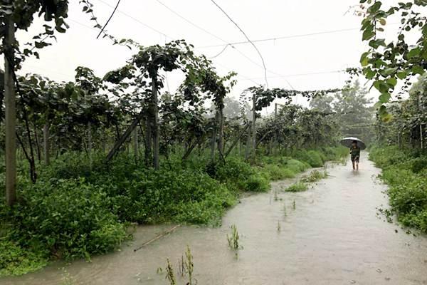 持续强降雨对四川猕猴桃产业的影响及灾后挽救建议
